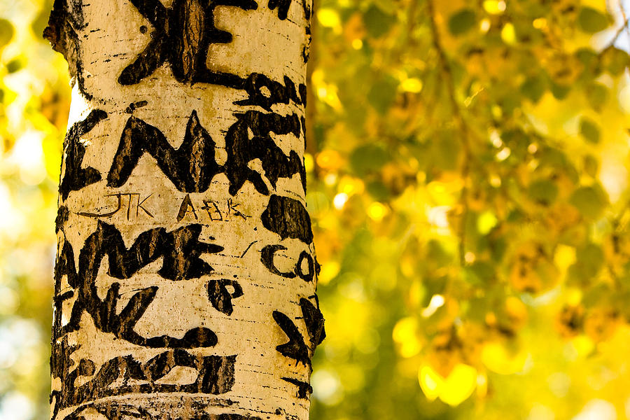 Aspens Photograph - Autumn Carvings by James BO  Insogna