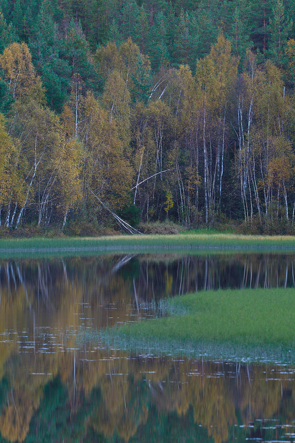 Autumn Colored Birches Reflected In A Quiet Lake Photograph