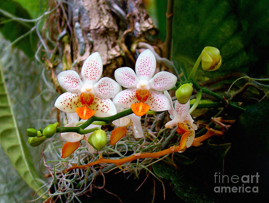 Orchid Photograph - Autumn Colored Orchids by Sue Melvin