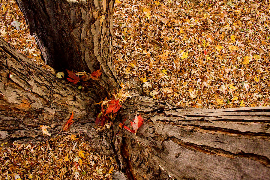 Maple Tree Photograph - Autumn Fall by James BO  Insogna
