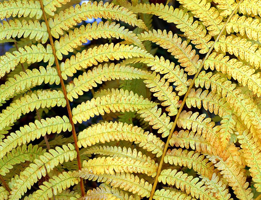 Fern Photograph - Autumn Ferns by Tony Ramos