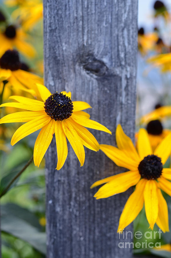 Autumn Flowers Yellow Photograph