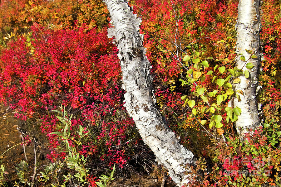 Tree Photograph - Autumn Foliage In Finland by Heiko Koehrer-Wagner