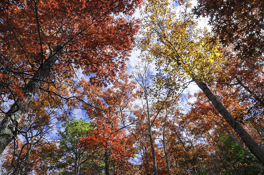 Fall Trees Photograph - Autumn Forest Canopy by Lynn Bauer