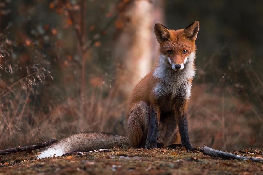 Fox Photograph - Autumn Fox by Ossi Saarinen