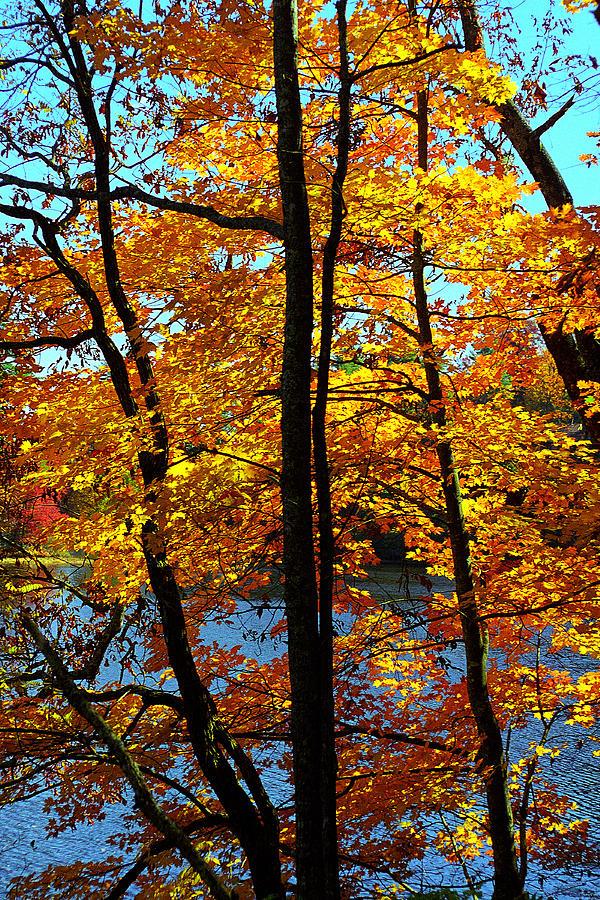 Fall Color Photograph - Autumn Gold by Alan Lenk