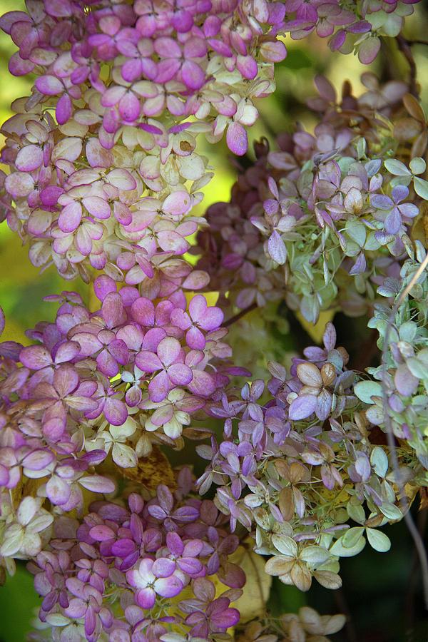 Autumn Hydrangea by Michael Friedman