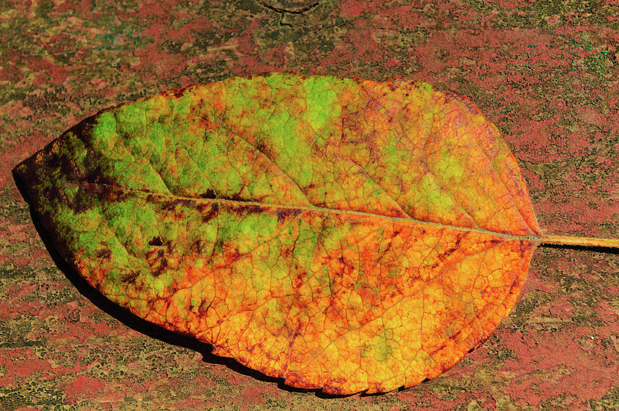 Autumn Leaf Four by Tikvah's Hope