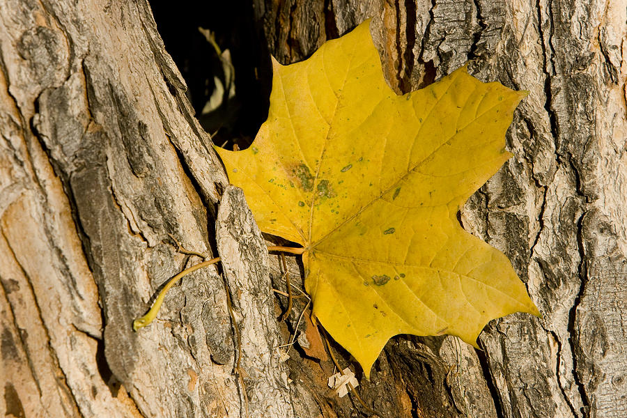 Maple Photograph - Autumn Leaf by James BO Insogna