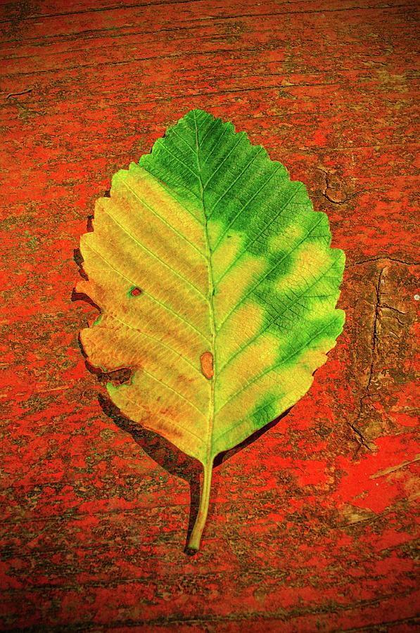 Autumn Leaf Three by Tikvah's Hope