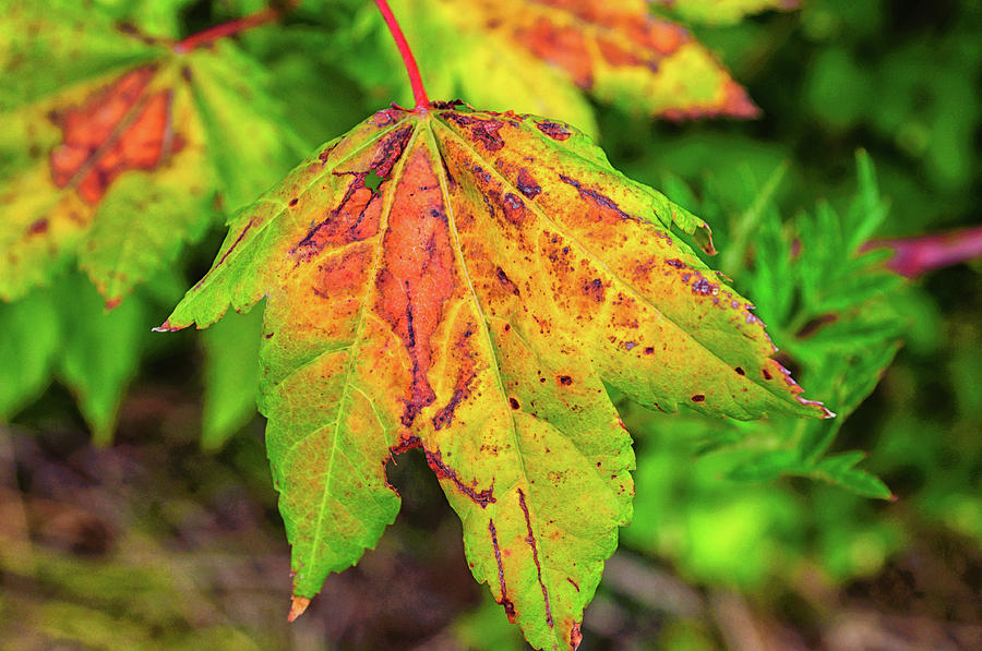 Autumn Leaf by Tikvah's Hope