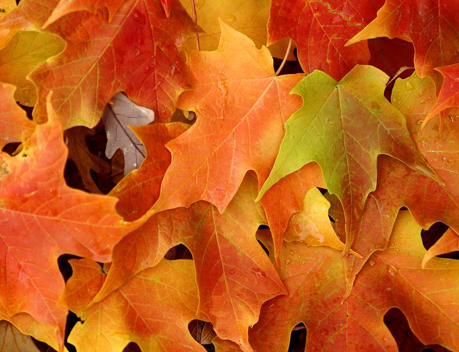 Leaf Photograph - Autumn Leaves - Foliage by Dmitriy Margolin