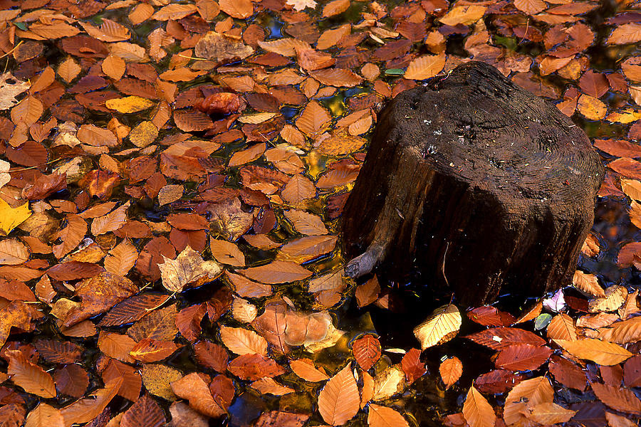 Autumn Photograph - Autumn Leaves And Tree Stump by Barry Shaffer