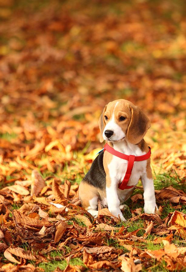 Resultado de imagen para beagle autumn