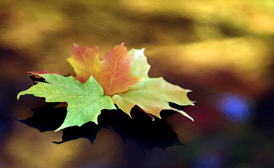 Leaf Photograph - Autumn Leaves  by Dmitriy Margolin