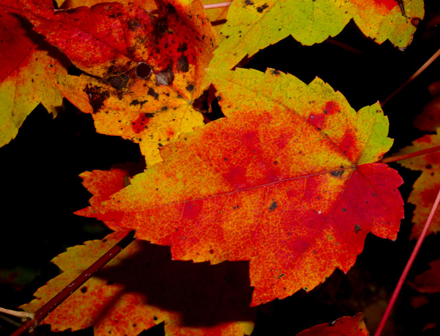Nature Photograph - Autumn Leaves by Robert Morin