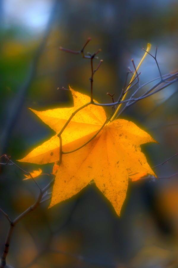 Soft Photograph - Autumn Maple Leaf by Igor Malinovskii