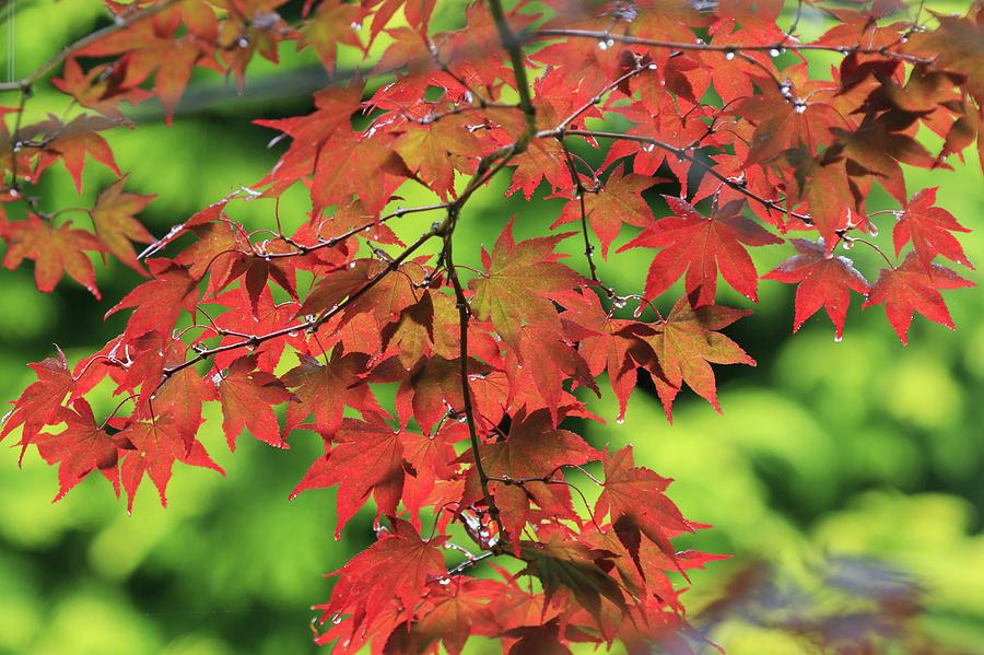 Autumn Maple Leaves - 2 Photograph