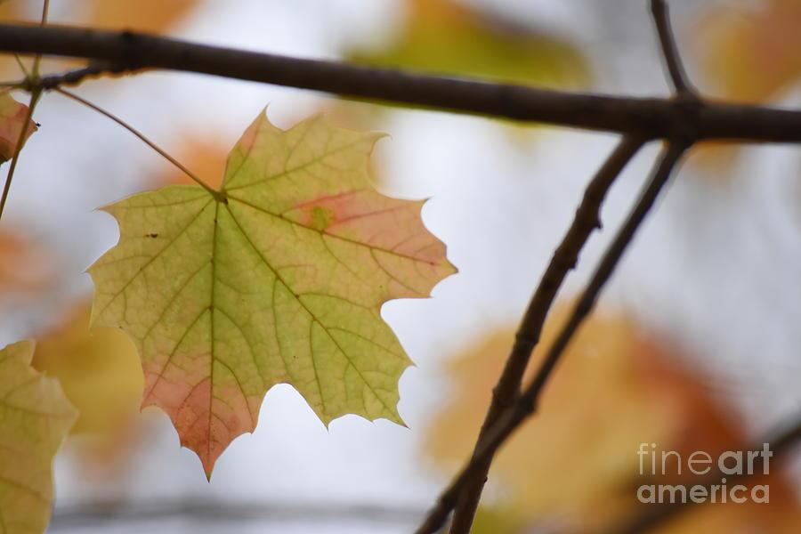 Maple Photograph - Autumn Maple Leaves Horizontal by Rowena Throckmorton