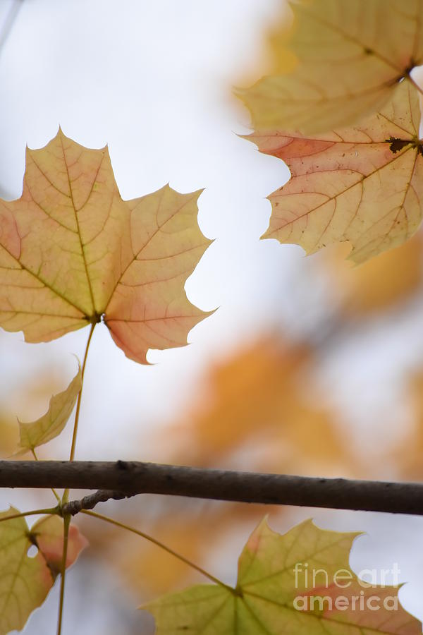 Maple Photograph - Autumn Maple Leaves by Rowena Throckmorton