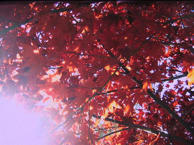 Autumn Photograph - Autumn Red Maple by Bob Smith