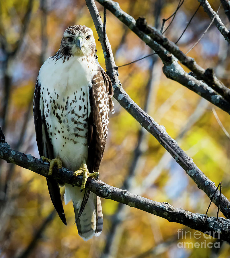Canon Photograph - Autumn Red-tailed Hawk by Ricky L Jones