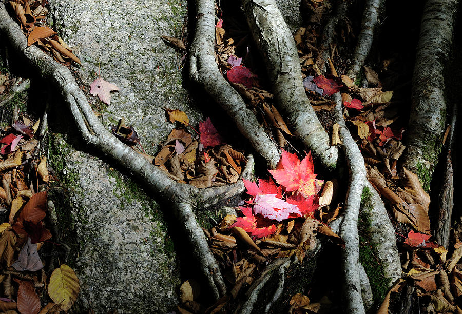 Autumn Photograph - Autumn Roots by Luke Moore