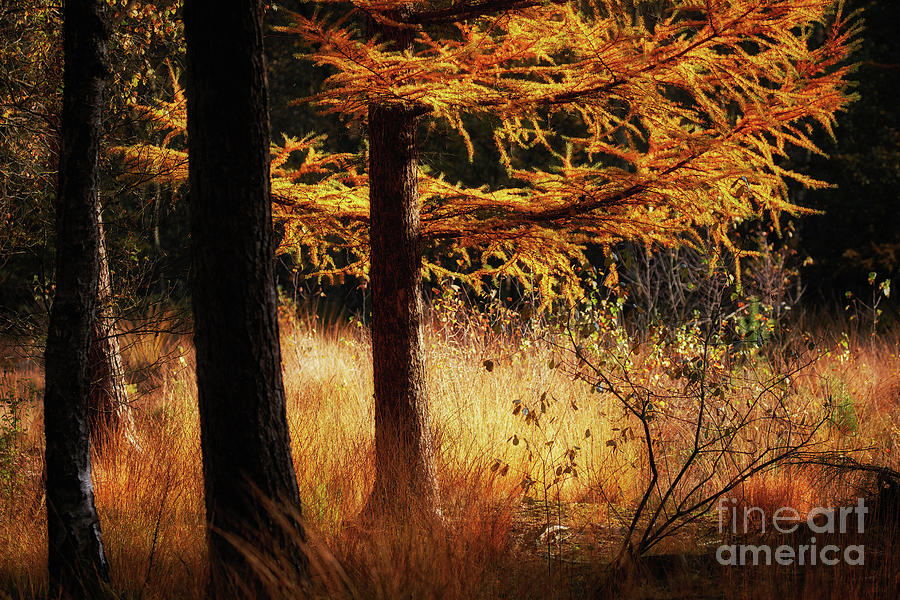 Autumn scene in a dark forest, pine trees gold colored  by Nick Biemans
