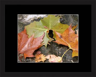 Leaves Photograph - Autumn Triumvirate by Brooke Chao