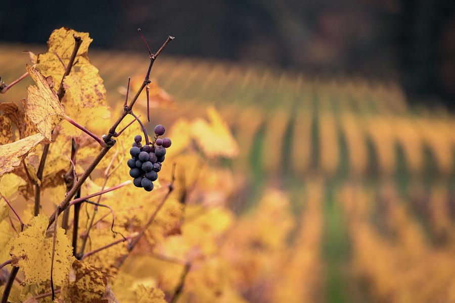 Oregon Photograph - Autumn Vineyard by Jason Clarke
