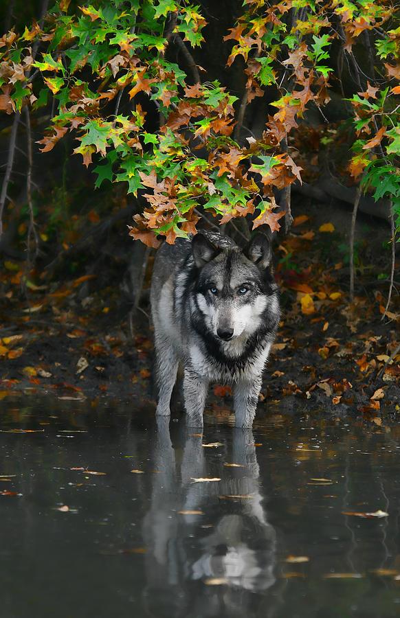 Autumn Wolf Photograph by Shari Jardina