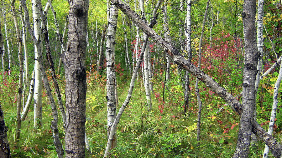 Silver Birch Photograph - Autumn Woods by Emma Frost