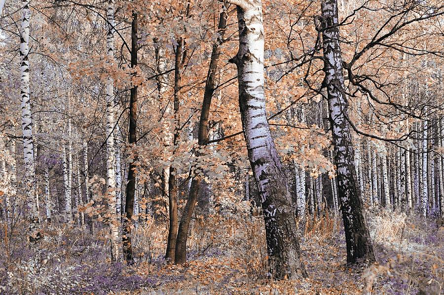 Birch Tree Photograph - Autumnal Lightness by Jenny Rainbow
