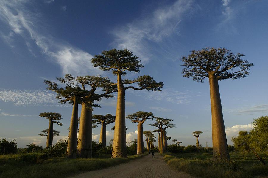 Madagascar Photograph - Avenue Des Baobabs by Michele Burgess