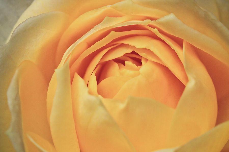 Canon Photograph - Awakening Yellow Bare Root Rose by Ryan Kelly