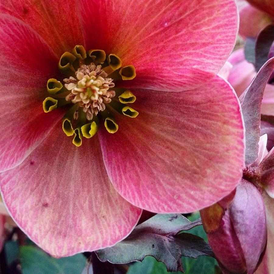 Bloom Photograph - Awesome Hellebore Flower by Blenda Studio