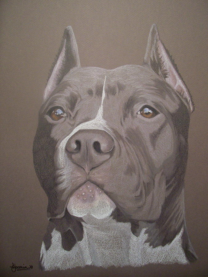 Pit Bull Drawing - Axl by Stacey Jasmin