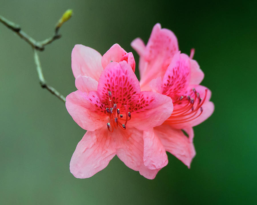 Angiosperms Photograph - Azalea Blooms On A Green Background by Steve Samples