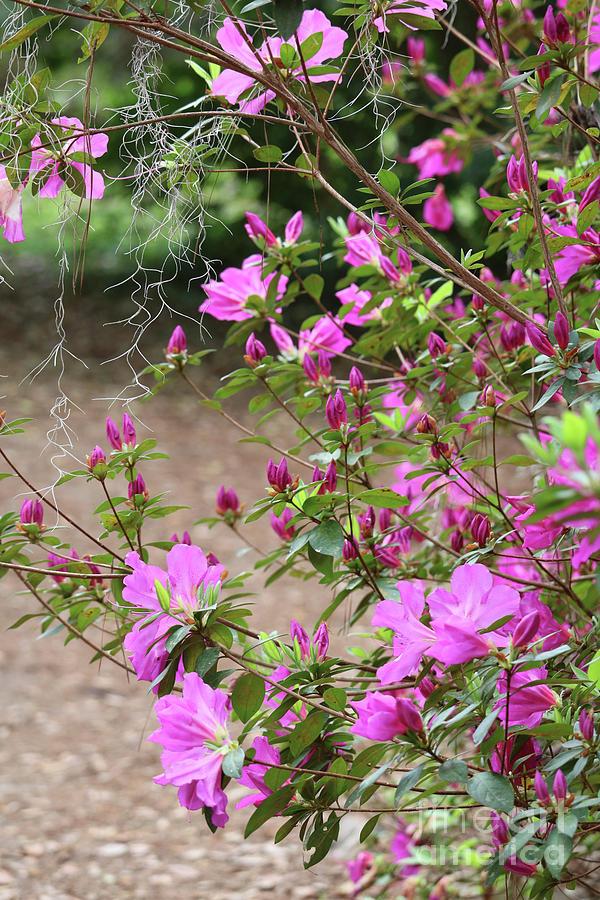 Azaleas Photograph - Azalea Branches And Spanish Moss by Carol Groenen