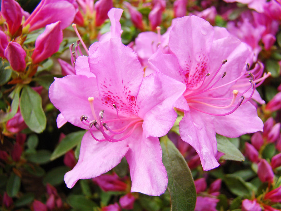 Azalea Garden Art Prints Pink Azaleas Flowers Baslee Troutman