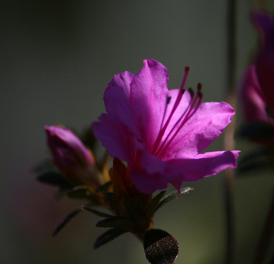 Azalea In The Light Photograph
