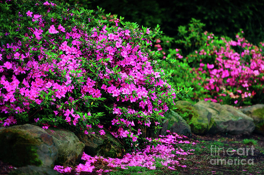 Tamyra Photograph - Azalea Waterfall At The Azalea Festival by Tamyra Ayles
