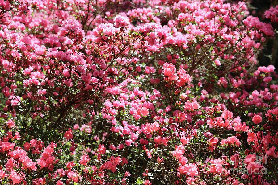 Azaleas Photograph - Azaleas Aplenty by Carol Groenen
