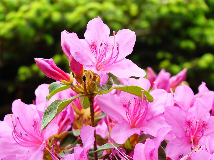 Azaleas Pink Azalea Flowers Artwork 12 Landscape Art Prints Photograph