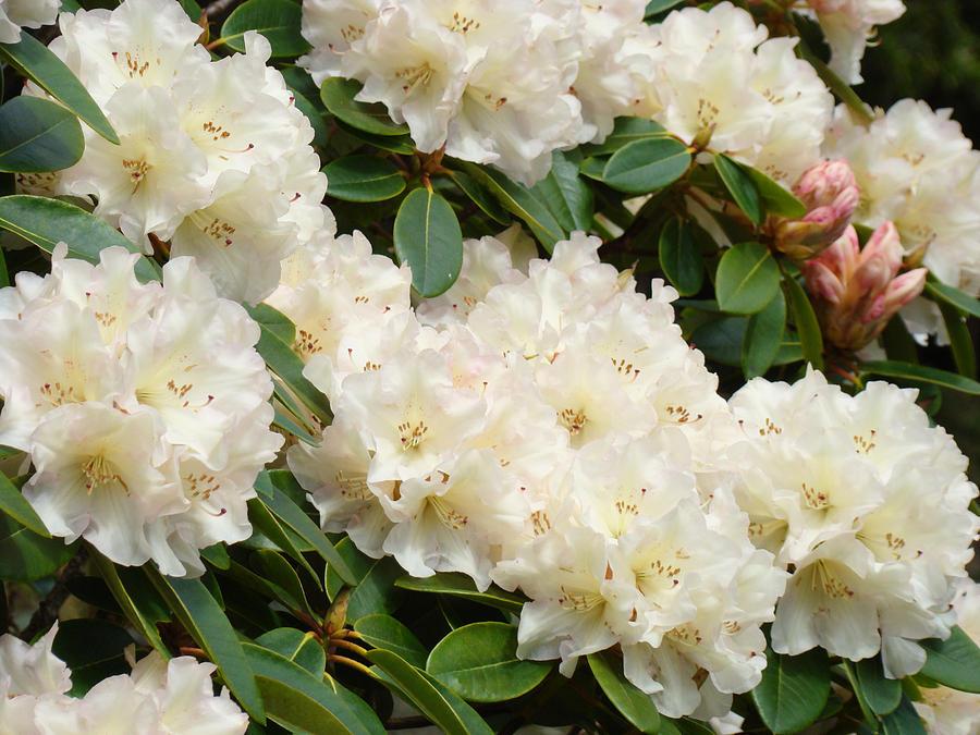 Rhodies Photograph - Azaleas Rhodies Landscape White Pink Rhododendrum Flowers 8 Giclee Art Prints Baslee Troutman by Baslee Troutman