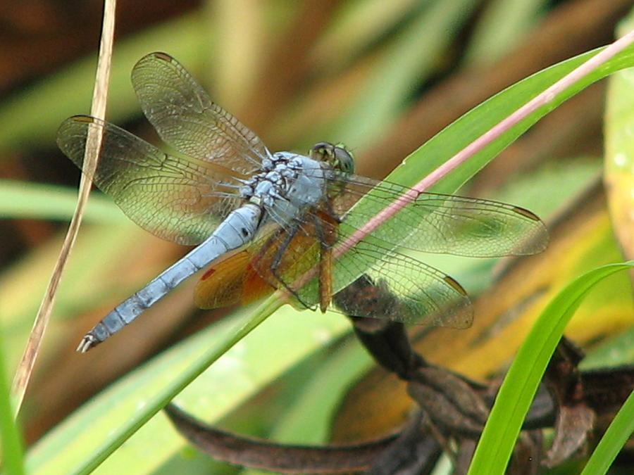 Bug Photograph - Azure Dragonfly 1 by David Dunham