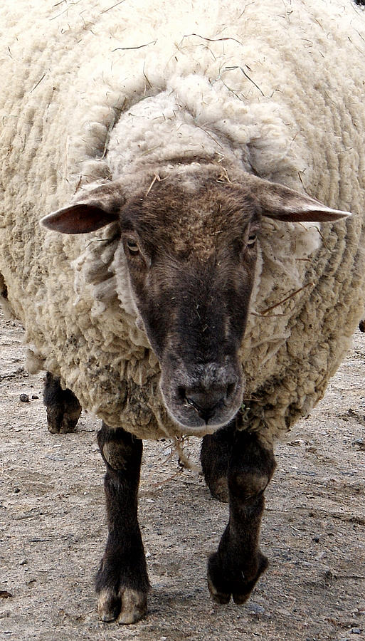 Sheep Photograph - Baa Baa by Jean Haynes