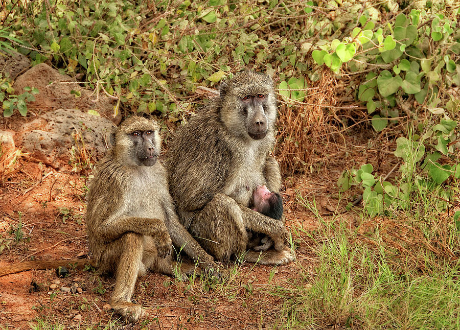 Baboon Family in Kenya by Mitchell R Grosky
