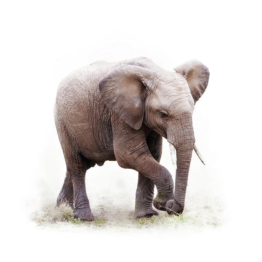 Baby Photograph - Baby African Elephant Isolated On White by Susan Schmitz