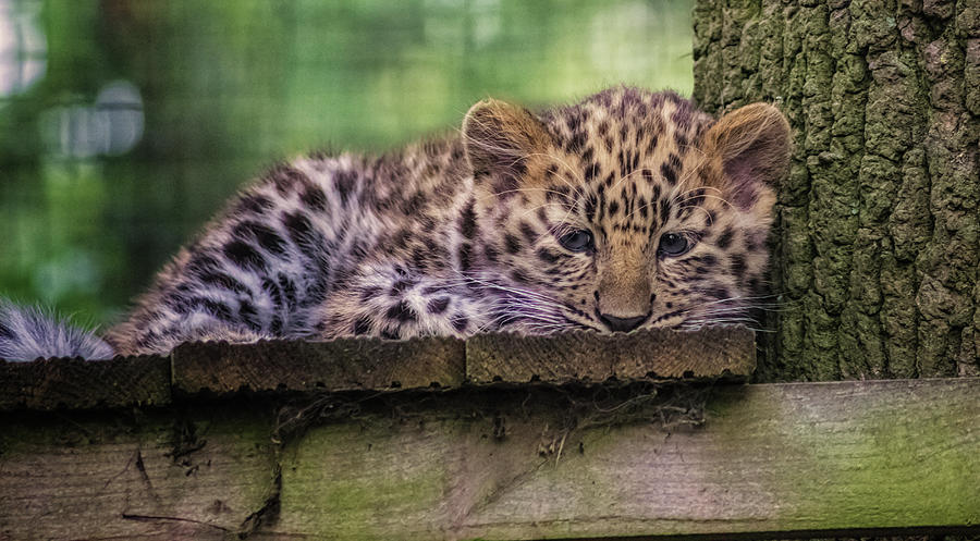 Leopard Photograph - Baby Amur Leopard by Martin Newman